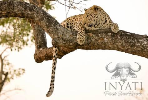 Tai dam male leopard