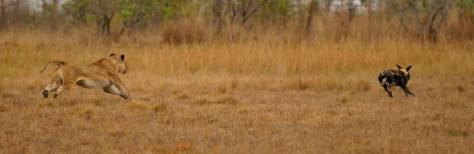 Lioness vs cape hunting dog