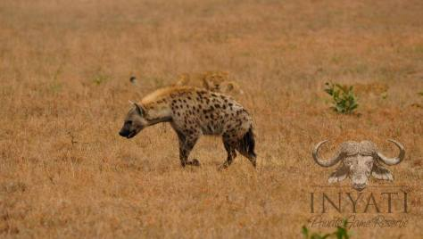 Hyena vs lioness