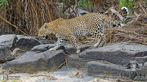 Xikhavi female leopard