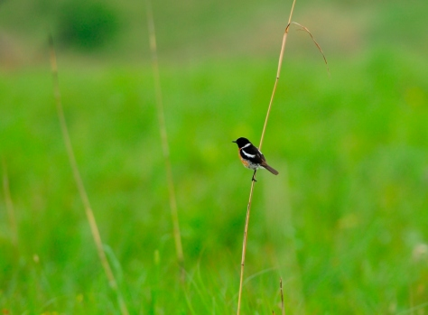 African Stonechat - Altitudinal migrant