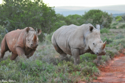 black and white rhinos by ryan hillier