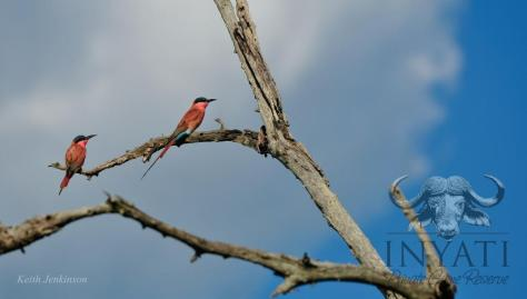 Carmine bee-eater Afro tropical migrant