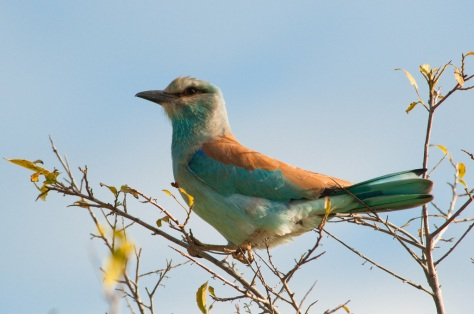 The European Roller (Coracias garrulus)