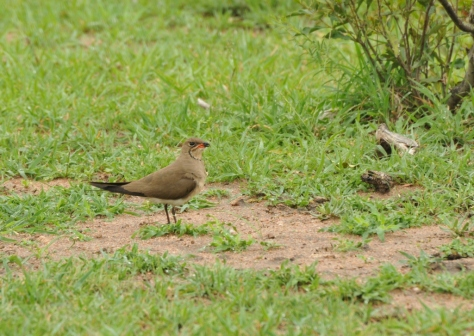 Red winged pratincole