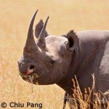 rhino in tall grass by chiu pang
