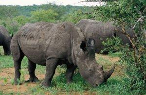 rhinos eating grass