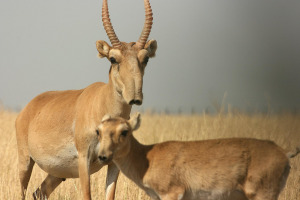 Saiga antelope by: Darwin Initiative