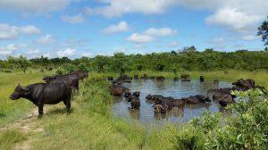 600 buffalo herd