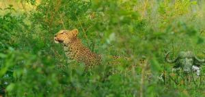 Xikhavi leopard