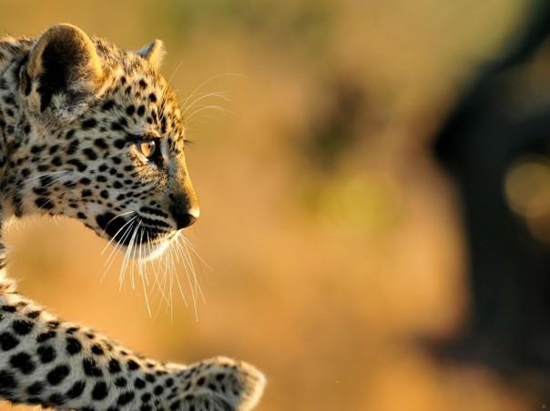 INY Tlangisa cub