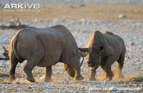 black rhino fight 1 m and f