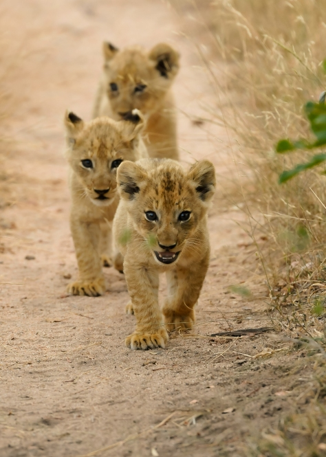 INY lion cubs