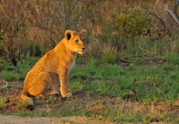Othawa cub