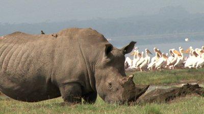 white rhino digging