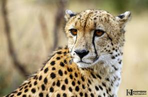 Cheetah male