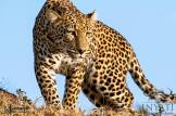 One of the most successful of all African predators