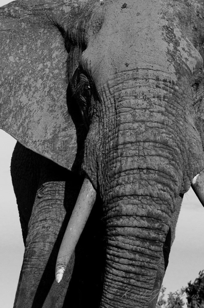 A mighty elephant bull at Inyati Game Lodge