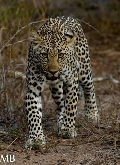 Basile leopard