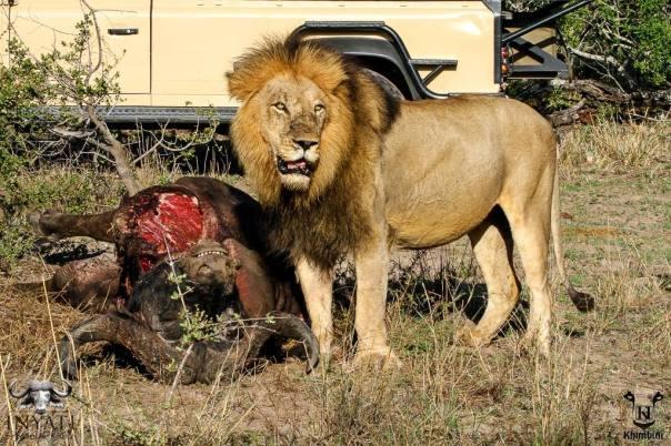 Majingilane male lions on a buffalo carcass