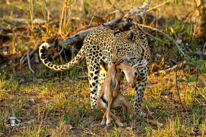 Tlangisa taking down Impala lamb