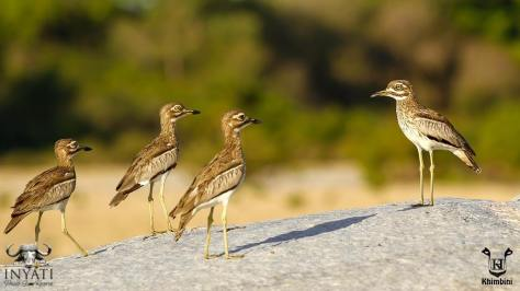 Water thick-knee, Water dikkop (Burhinus vermiculatus)
