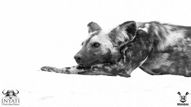 Wild dog posing on the rock.