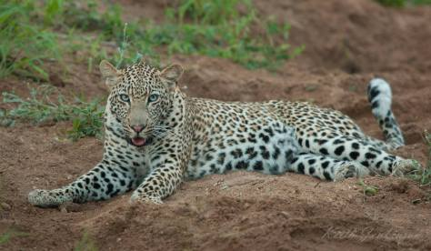 mondzo #leopard