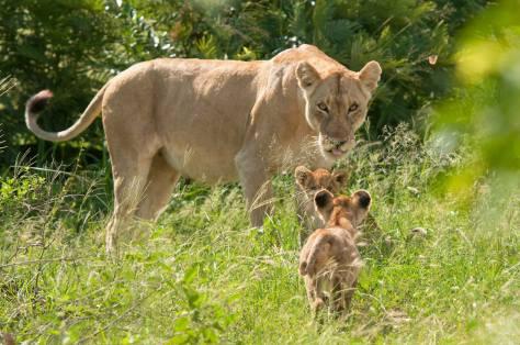 othawa cubs
