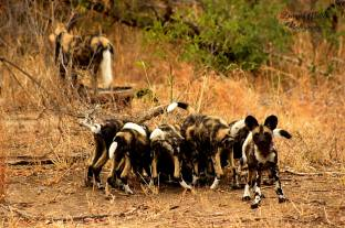 Wild dogs return