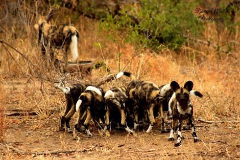 Wild dogs return
