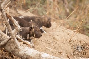 Wilddog pups