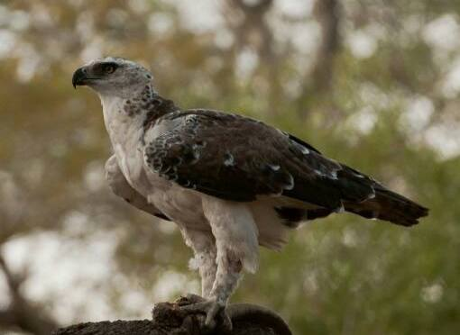 Martial Eagle Conservation – Kruger National Park update.