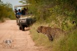 Some more amazing Leopard viewing at Inyati Game Lodge.