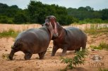 Two young hippo bulls had an altercation before settling in this morning.