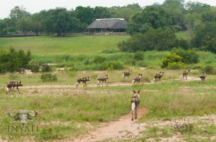 The pack of wild dogs decided to visit Inyati Game Lodge.